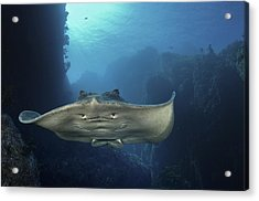 A Short-tailed Stingray Swimming In An Acrylic Print by Brian J. Skerry