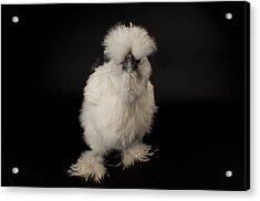 A Silkie Bantam Chicken Gallus Acrylic Print by Joel Sartore