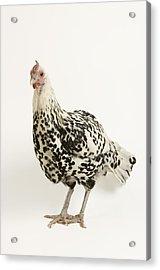 A Silver Spangled Hamburg Chicken Acrylic Print by Joel Sartore
