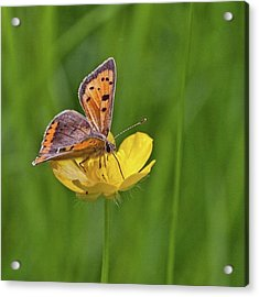 A Small Copper Butterfly (lycaena Acrylic Print