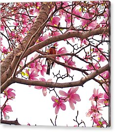 A Songbird In The Magnolia Tree - Square Acrylic Print