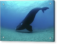 A Southern Right Whale Hovers Inches Acrylic Print by Brian J. Skerry