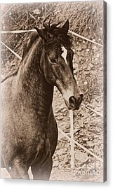 A Spanish Noble Acrylic Print by Clare Bevan
