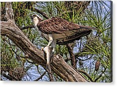 Acrylic Print featuring the photograph A Speckled Trout Breakfast by HH Photography of Florida