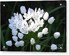 Acrylic Print featuring the photograph A Spray Of Wild Onions by Felipe Adan Lerma