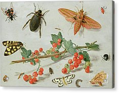 A Sprig Of Redcurrants With An Elephant Hawk Moth, A Magpie Moth And Other Insects, 1657 Acrylic Print