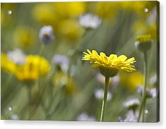 A Spring Daisy Acrylic Print by Sue Cullumber