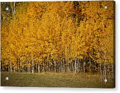 A Stand Of Aspen Acrylic Print