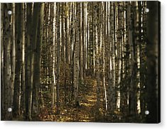A Stand Of Birch Trees Show Acrylic Print by Raymond Gehman