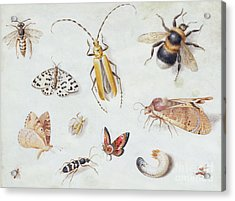 A Study Of Butterflies And Other Insects Acrylic Print
