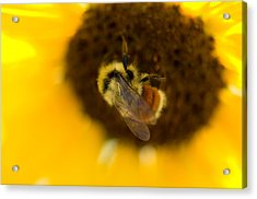 A Sunflower And Bumble Bee In Eastern Acrylic Print by Joel Sartore