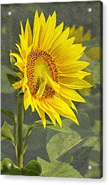 A Sunflower's Prayer Acrylic Print