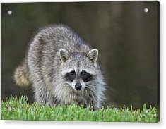 A Surprised Raccoon Acrylic Print