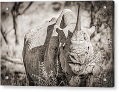 A Tasty Thornbush - Black And White Rhinoceros Photograph Acrylic Print