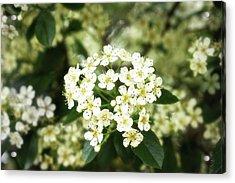 A Thousand Blossoms 3x2 Acrylic Print