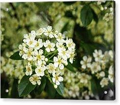 A Thousand Blossoms Acrylic Print