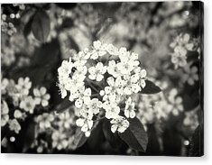 A Thousand Blossoms Sepia 3x2 Acrylic Print