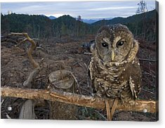 A Threatened Northern Spotted Owl Acrylic Print by Joel Sartore