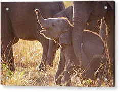 A Tiny Endangered Asian Elephant Calf Acrylic Print by Jason Edwards