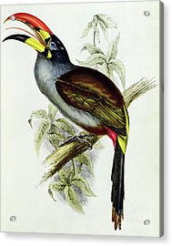 A Toucan  Pteroglossus Hypoglaucus From Tropical Birds Acrylic Print