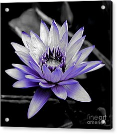 A Touch Of Purple Acrylic Print