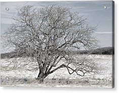 A Tree In Canaan Acrylic Print