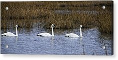 A Trio Of Swans Acrylic Print