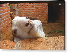 A Visit With A Smiling Goat Acrylic Print by ARTography by Pamela Smale Williams