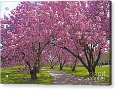 A Walk Down Cherry Blossom Lane Acrylic Print