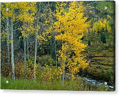 A Walk In The Aspen Forest Acrylic Print