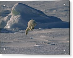 A White Arctic Fox, Alopex Lagopus Acrylic Print by Norbert Rosing
