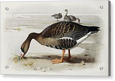 A White Fronted Goose Acrylic Print by Archibald Thorburn