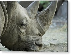 A White Rhino Sniffs The Muddy Ground Acrylic Print by Joel Sartore