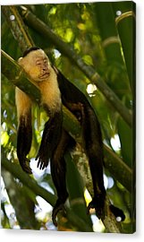 A White-throated Capuchin Monkey Acrylic Print by Roy Toft