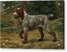 A Wire-haired Pointing Griffon Holds Acrylic Print