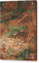 A Woodcock And Chick In Undergrowth Acrylic Print by Archibald Thorburn