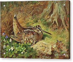 A Woodcock And Chicks Acrylic Print by Archibald Thorburn