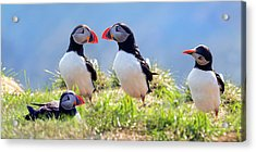 A World Of Puffins Acrylic Print