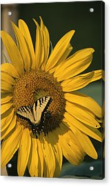 A Yellow Swallowtail Acrylic Print by Taylor S. Kennedy