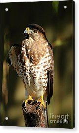 A Young Bird Of Prey Acrylic Print by Christiane Schulze Art And Photography