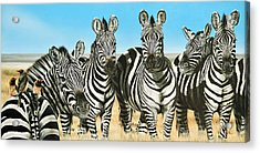 A Zeal Of Zebras Acrylic Print