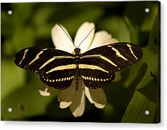 A Zebra-winged Butterfly At The Lincoln Acrylic Print by Joel Sartore