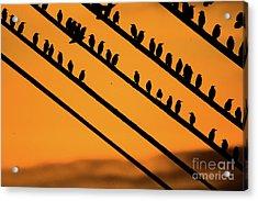 Aberystwyth Starlings At Dusk Acrylic Print
