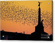 Aberystwyth Starlings Acrylic Print
