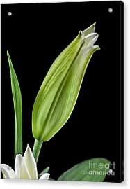 White Oriental Lily About To Bloom Acrylic Print