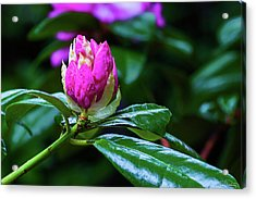 About To Unfold Acrylic Print