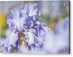 Absolute Treasure 1. The Beauty Of Irises Acrylic Print