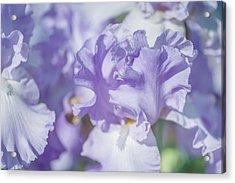 Absolute Treasure Closeup. The Beauty Of Irises Acrylic Print