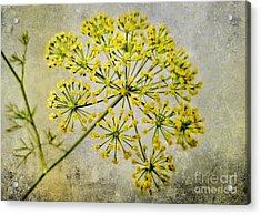 Attractive Dill Blossom  Acrylic Print