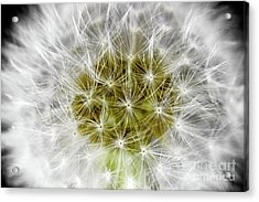 Abstract Nature Dandelion Floral Maro White And Yellow A1 Acrylic Print